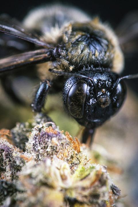 μέλισσα σε κάνναβη